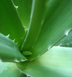 Aloe Vera Constipation Remedy